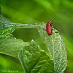 Red–headed Cardinal Beetle