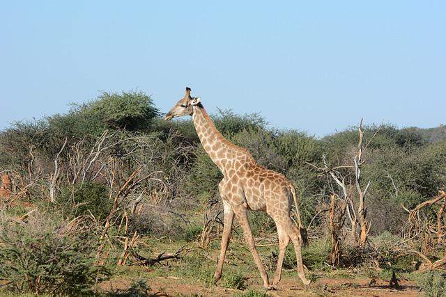 Namibia, Erindi Game Reserve, Giraffe in Savannah