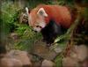 Panda Roux..............bonne journée à vous !