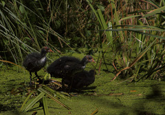 Common Coot / Blaessralle