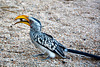 Namibia, Hornbill Bird in the Spitzkoppe Mountains