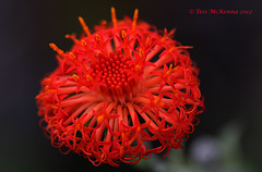 Kleinia abyssinica 138 copy Explore