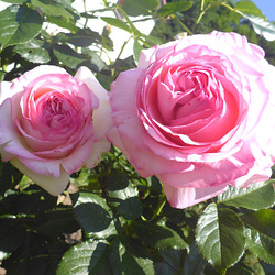 Rose 'Eden'