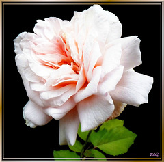 Sundays Rose... ©UdoSm