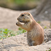~ Prairie dog ~ Mmm..... it's so delicious to nibble ~