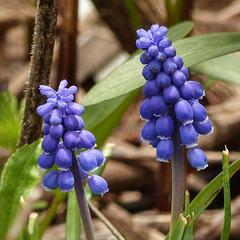 Day 3, Grape Hyacinth / Muscari botryoides, on way to Hillman Marsh