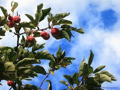 Ornamental Apples 1