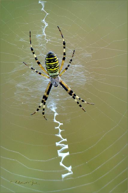 Wasp spider ~ Wesp- of Tijgerspin (Argiope bruennichi)..