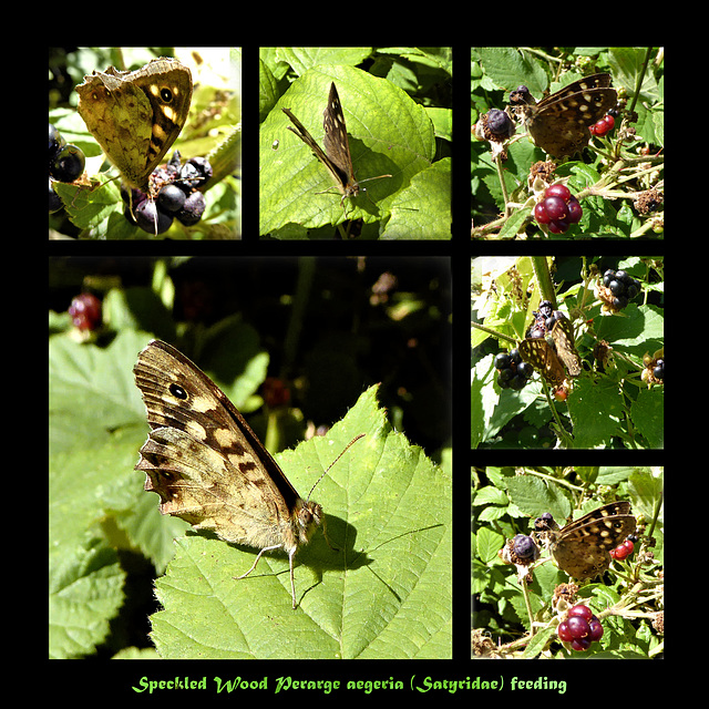 Speckled Wood feeding collage
