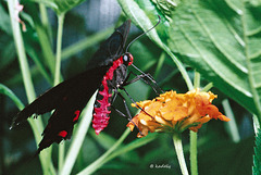 Photo13 Parides montezuma  (blog)