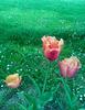 Tulipa agenensis DC.