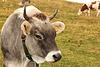 Tiroler Grauvieh -