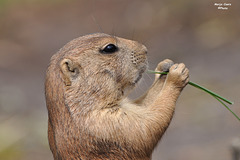~ Prairie dog playing the flute ~