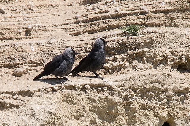 20170516 2817VRTw [A] Dohle (Corvus monedula), Neusiedler See, [Oslib-Rust]