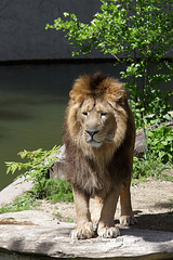 Löwe (Wilhelma)