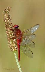 For the first time a Broad Scarlet ~ Vuurlibel (Crocothemis erythraea) seen, male ♂...