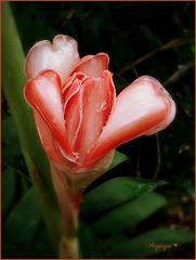 Rose de porcelaine ******* Belle semaine à tous !