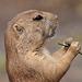 ~ Prairie dog ~ I look a bit arrogant, but i'm so cute ~