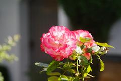 Rose in der Mittagssonne