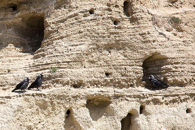 20170516 2821VRTw [A] Dohle (Corvus monedula), Neusiedler See, [Oslib-Rust]