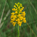 Gymnadeniopsis integra (Yellow Fringeless orchid)