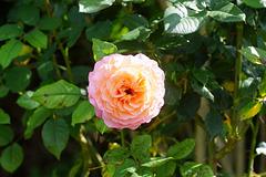 Rose in der Mittagssonne II