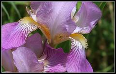 Mon souhait pour 2018 :des iris , des iris , des iris , plein de floraisons !
