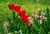 Debbie's Tulips