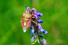 Auch Wanzen können schön sein - Bugs can also be beautiful