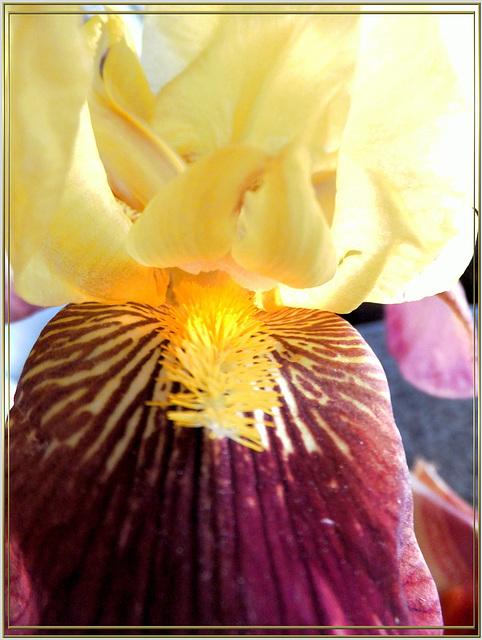 Detail einer Bart-Lilie (Iris).  ©UdoSm