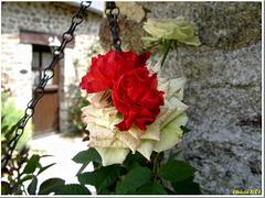 Kaum zu glauben : red heart of a white rose