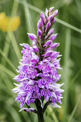 Spotted (or Marsh) Orchid