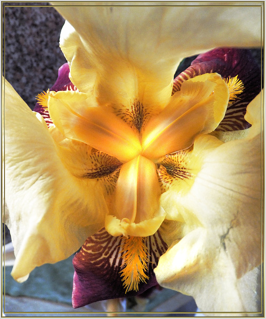 Das Zentrum einer Bart-Lilie (Iris).  ©UdoSm