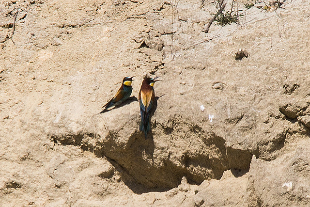 20170516 2836VRTw [A] Bienenfresser (Merops apiaster), Neusiedler See, [Oslib-Rust]