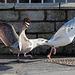 Naughty baby tail-grabs mother herring gull