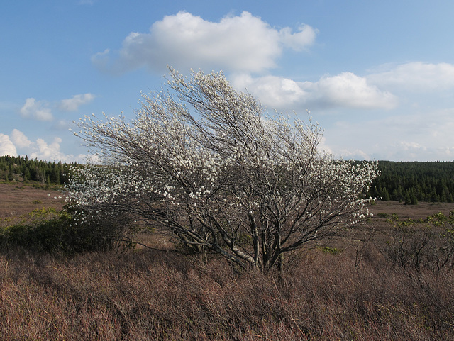 Grows with difficulty, diagonally misshapen windblown serviceberry.