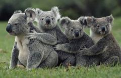 Koalas à la queue leu-leu