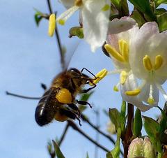 La belle abeille noire de race pure !