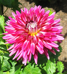 "Dahlia ""Hollyhill Starburst"" by My Lovely Wife"