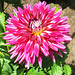 """Dahlia """"Hollyhill Starburst"""" by My Lovely Wife"""
