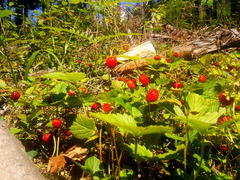 More on wild strawberries