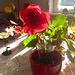 Die letzte Rose - la lasta rozo