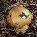 20170923 2982CPw [D~MI] Pilz, Großes Torfmoor, Hille
