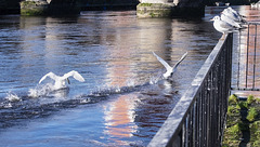 Fighting Swans on the River Leven