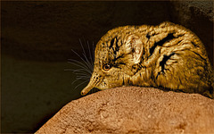 Rüsselspringer / Elephant shrew