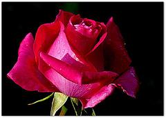 rose du Sud 2