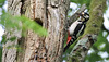 Pic épeiche - Dendrocopos major - Great Spotted Woodpecker