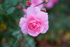 Eine Rose im Oktober