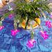 Blüten des Gliederkaktus - (Schlumbergera)