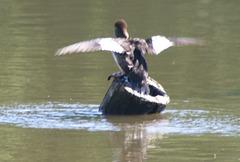 Common Golden Eye Duck (Bucephala clangula)  on a pole Cormorant style Jn11-06